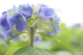 紫陽花の写真・画像素材[543416]