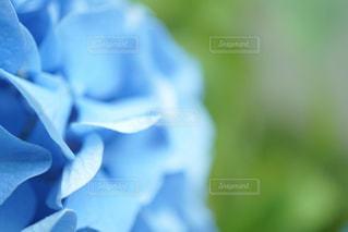 紫陽花の写真・画像素材[543427]