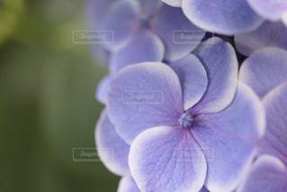 紫陽花 - No.563947