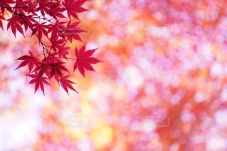 ピンクの花の木の写真・画像素材[868927]