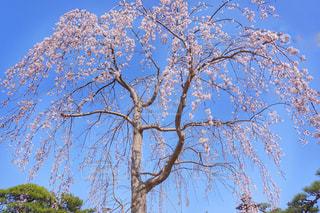 大きな木の写真・画像素材[1131861]