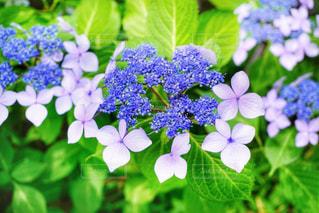 雨,紫陽花,梅雨,6月,アジサイ