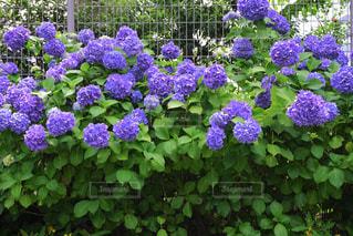 庭に紫の花の束の写真・画像素材[1216614]