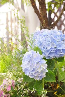 雨,あじさい,紫陽花,梅雨,アジサイ,花のある生活