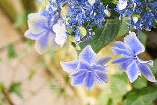 あじさい,紫陽花,梅雨,アジサイ,花のある生活