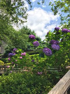 大きな紫色の花は、庭の写真・画像素材[1245017]