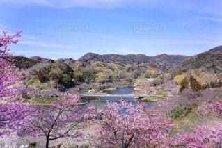 花,春,桜,ピンク,お花見,河津桜,花のある暮らし