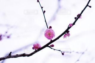 木の枝に咲く紫色の花のグループの写真・画像素材[3018182]