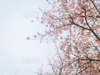 空,春,屋外,大阪,ピンク,青空,一眼レフ,フィルムカメラ,ニコン