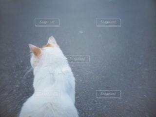 その口を開いて白猫の写真・画像素材[1266734]