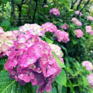 公園,花,雨,屋外,あじさい,紫,鮮やか,紫陽花,梅雨,天気,草木,雨の日,アジサイ