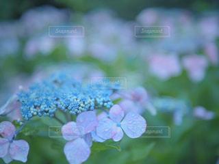 紫陽花のクローズアップの写真・画像素材[2181857]
