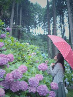 女性,花,雨,傘,屋外,赤,あじさい,紫,紫陽花,人物,人,ドット柄,梅雨,天気,草木,雨の日,アジサイ
