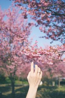 桜の花の写真・画像素材[2990610]