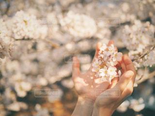 桜を包み込む手の写真・画像素材[3034302]