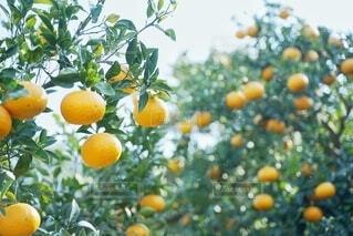 木の枝にオレンジがなっているの写真・画像素材[3879293]