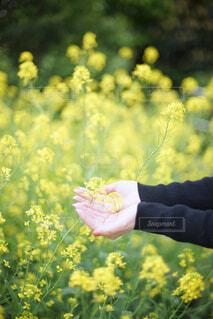 菜の花と手の写真・画像素材[4348509]