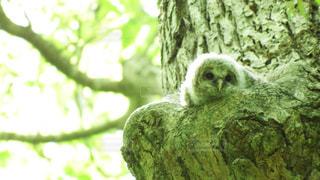 木の枝にとまるフクロウの写真・画像素材[721166]