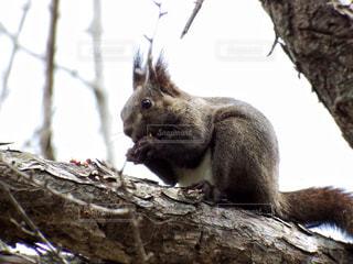 リスの立っている枝にの写真・画像素材[721209]