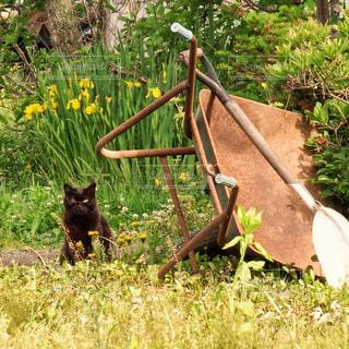 猫とネコ(一輪車)の写真・画像素材[1266418]