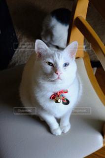猫,白,ねこ,白猫,cat,ホワイト,自宅,ネコ,雄