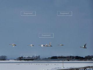 白鳥の雪原の写真・画像素材[1866593]