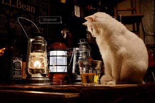 猫,動物,リビング,屋内,ランタン,ペット,人物,癒し,ネコ