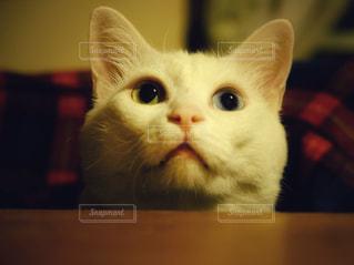 猫,動物,屋内,かわいい,ペット,人物,白猫,目,見つめる,キティ,ネコ