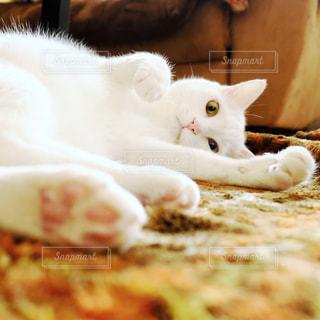 猫,動物,リビング,ペット,人物,肉球,白猫,ゴロゴロ,ネコ