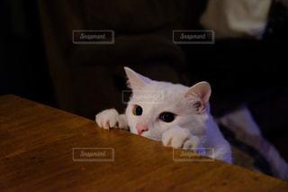 猫,動物,リビング,屋内,白,ペット,人物,白猫,キティ,ネコ,ネコ科の動物