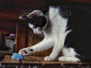 猫,動物,屋内,ペット,人物,おもちゃ,遊び,ネコ,ネズミ,ネコ科の動物