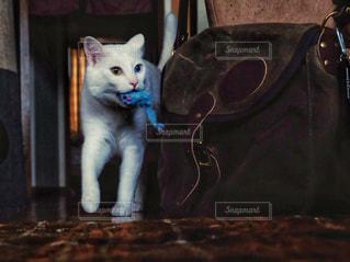 猫,動物,屋内,白,ペット,人物,白猫,おもちゃ,遊び,ネコ,ネズミ