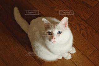 猫,動物,屋内,かわいい,ペット,床,人物,白猫,癒し,オッドアイ,キティ,ネコ,ネコ科の動物