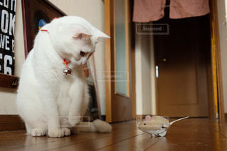 猫,動物,屋内,白,かわいい,ペット,鈴,人物,白猫,癒し,座る,おもちゃ,遊び,首輪,ネコ,ネズミ