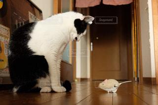 1人,猫,動物,黒,室内,白黒,ねこ,ペット,床,人物,癒し,おもちゃ,遊び,一人遊び,ネコ,ネズミ