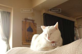 猫,動物,リビング,昼寝,ペット,寝顔,鈴,人物,白猫,癒し,睡眠,おやすみ,お休み,キティ,首輪,食後,ネコ,ネコ科の動物