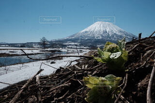 ふきのとう羊蹄山の恵みの写真・画像素材[4128259]