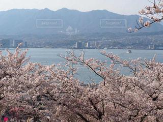 桜,広島,宮島