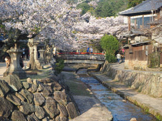 空,歩く,桜並木,宮島,日中,インスタ映え