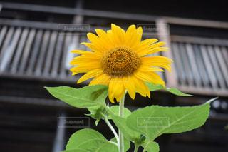 近くに黄色い花のアップの写真・画像素材[1372335]