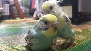 動物,鳥,緑,2匹,インコ