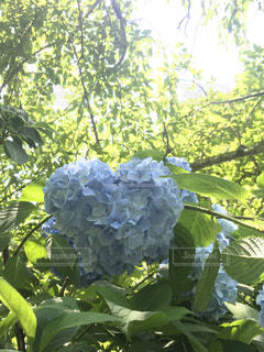 ハート,紫陽花,明月院