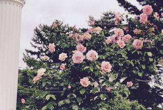 ピンクのバラと白い柱の写真・画像素材[1184627]