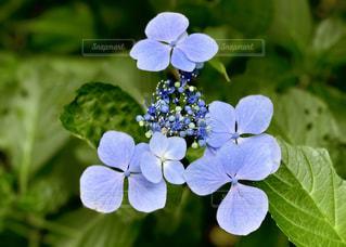 等々力渓谷の紫陽花の写真・画像素材[1184695]