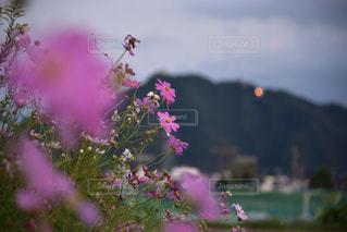 紫の花のグループの写真・画像素材[1513278]