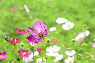 近くの花のアップの写真・画像素材[1513839]