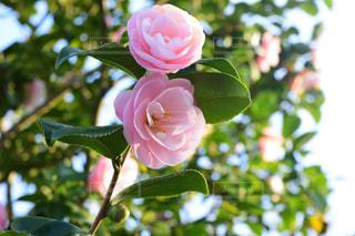 近くの花のアップの写真・画像素材[1801483]