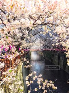 今年の目黒川の桜です。 - No.1139824