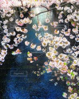 今年の目黒川の桜。川に散った花びらが綺麗でした( ´∀` ) - No.1139844