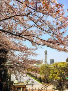桜と通天閣。の写真・画像素材[1139858]